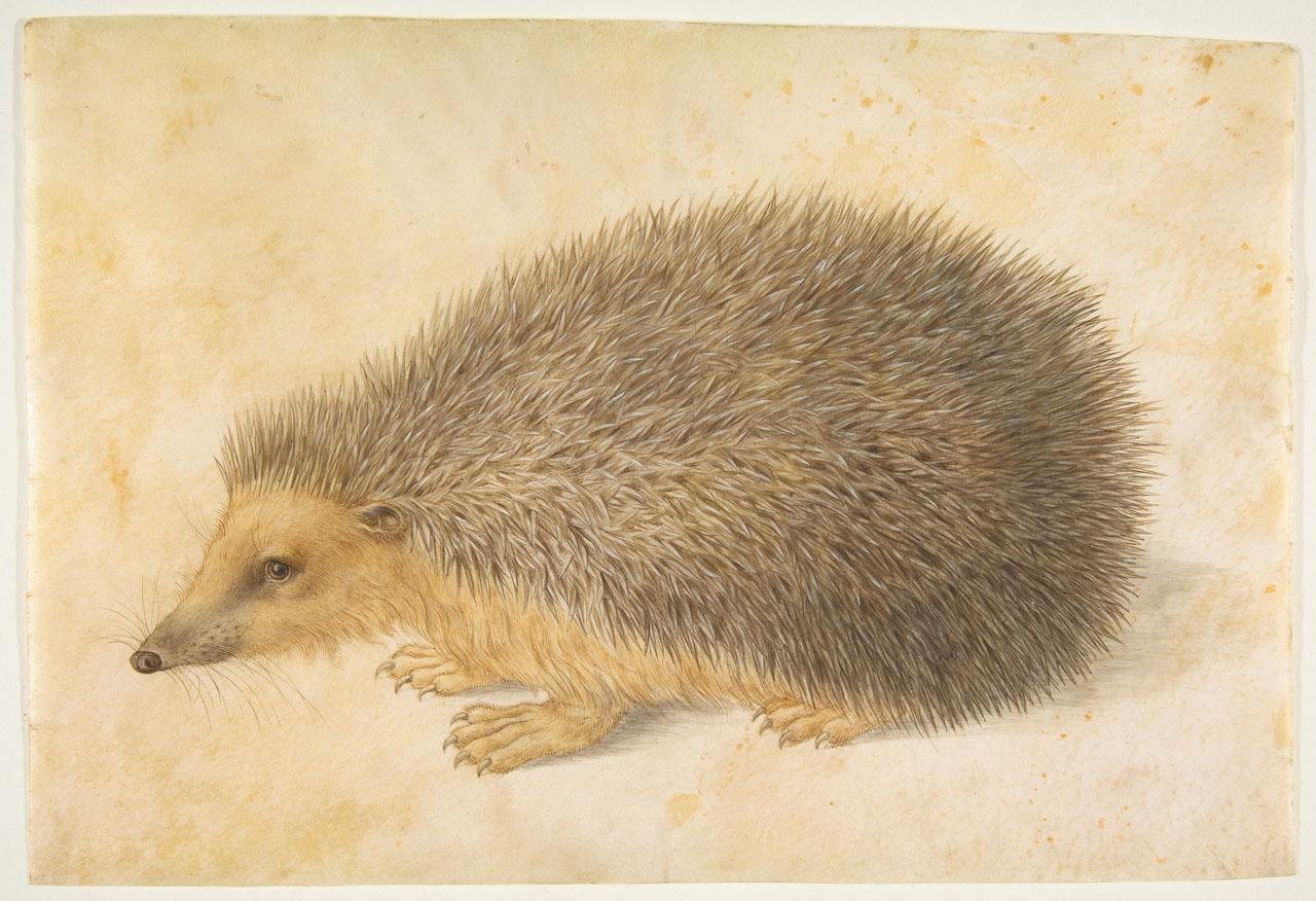 Hans Hoffmann: Hedgehog